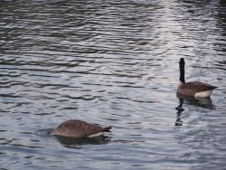 Jedna a pul kachny na vode