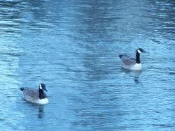 Dve cele kachny na vode