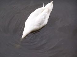 Labut bez hlavy :-D