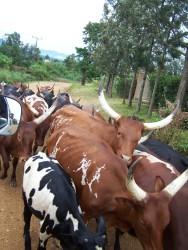 Krava ugandska