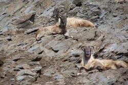 Kozy uz nevim jake (mozna himalajske)