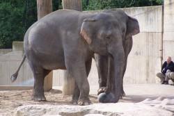 Slon - fotbalista